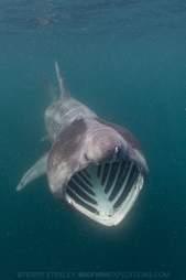 Basking shark swimming in ocean