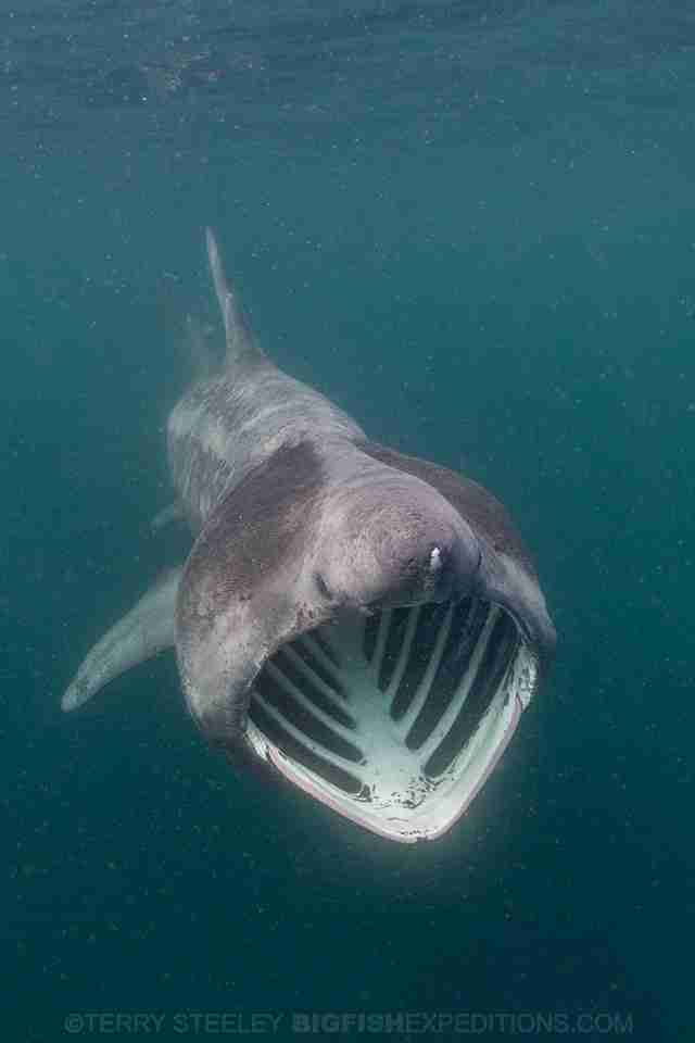 Basking shark swimming in ocean