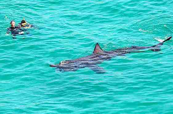Basking shark swimming on surface of water