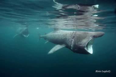 Basking sharks swimming in ocean