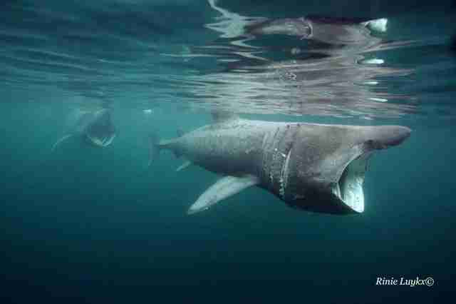 Basking sharks swimming in ocean