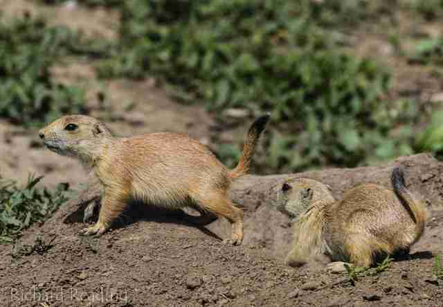 Prairie dogs running across burrows
