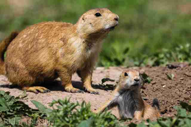 Adult prairie dog and baby