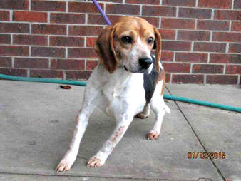 royal rescue dog beagle
