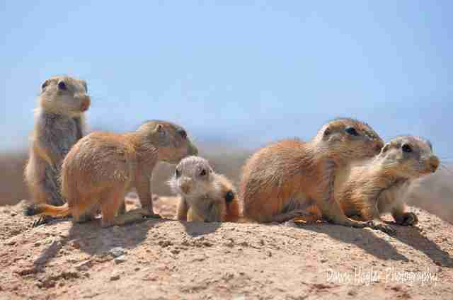 Group of black-tailed prairie dogs