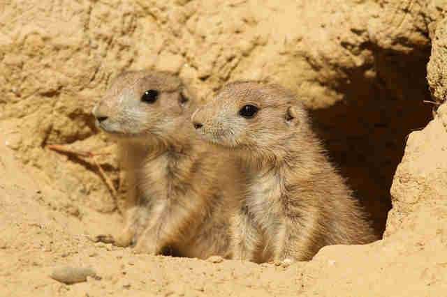 Pair of prairie dogs