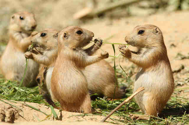 Prairie dog family above burrow
