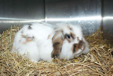 matted rabbits belgium