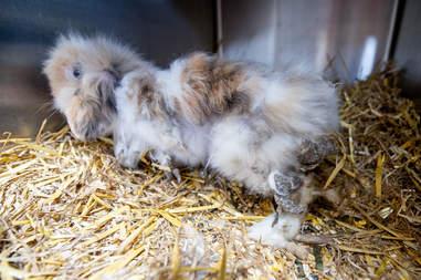 matted rabbit belgium