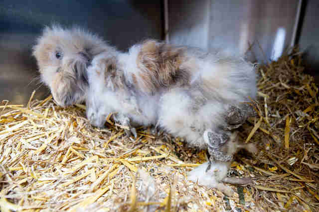 matted rabbit belgium