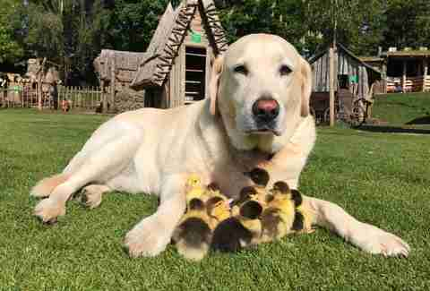 Fred the Labrador and his ducklings