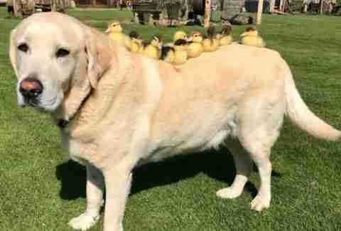dog and his foster ducklings in England