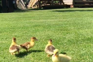 lost orphan ducklings wander around Mountfitchet Castle
