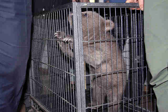 Baby bear in tiny metal cage