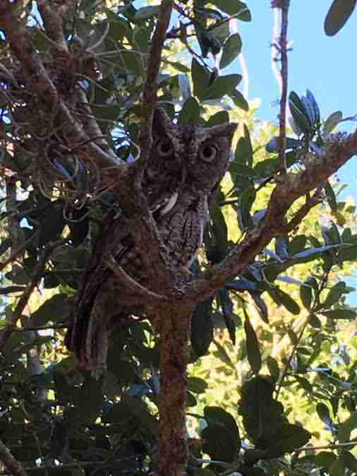 Screech owl sitting in tree