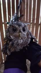 Screech owl being placed in outdoor enclosure