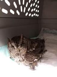 Injured screech owl in carrier