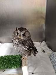 Rescued owl in kennel