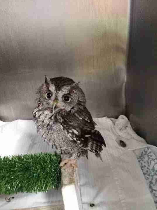 Rescued owl in kennel