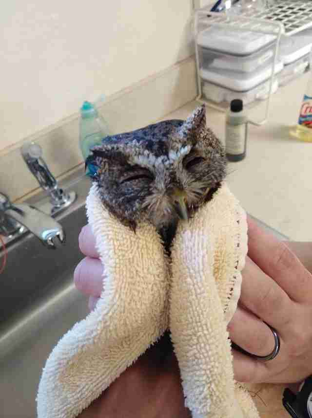 Screech owl wrapped up in towel