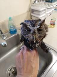 Screen owl after getting bath