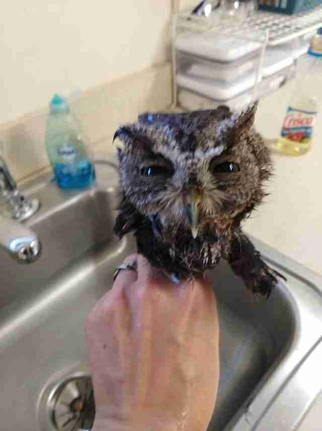 Screen owl after getting bath