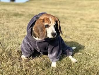 Beagle dog in coat