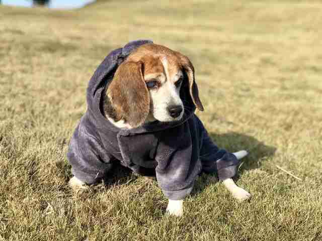 Beagle dog in coat