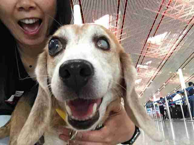 Blind beagle smiling at airport