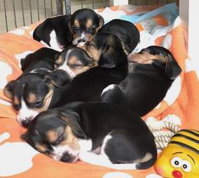 Beagle puppies snuggling together on a blanket