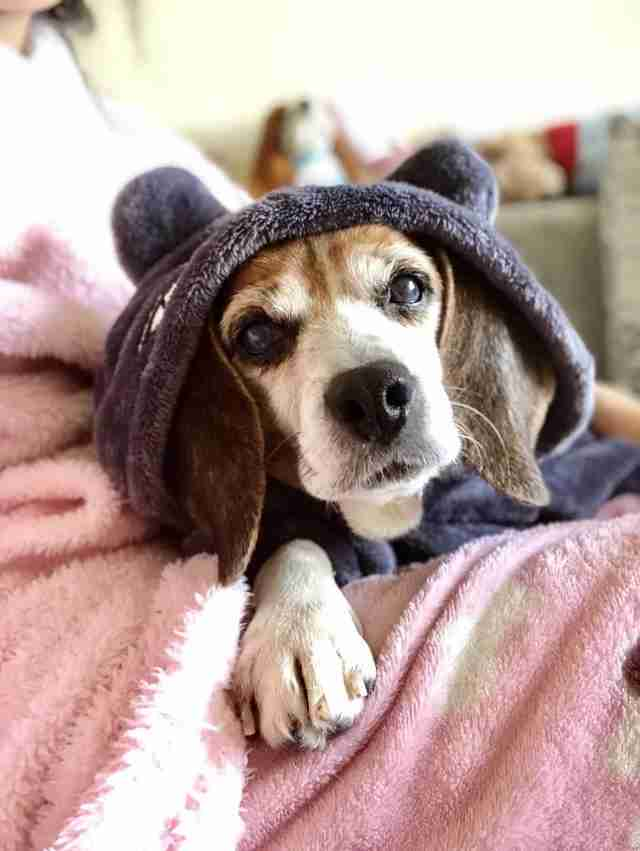 Older beagle snuggling on blanket