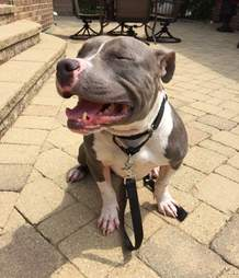 bald pit bull mange rescue chicago