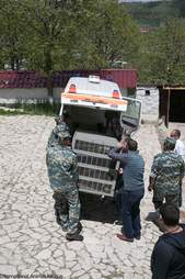 Brown bear being loaded onto a transport vehicle