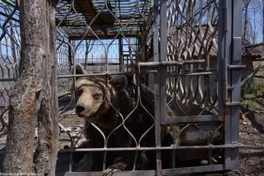 Brown bear locked up in metal cage