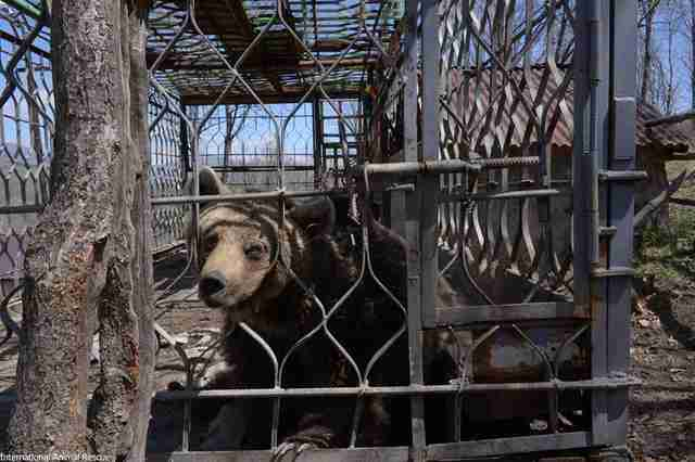 Brown bear locked up in metal cage