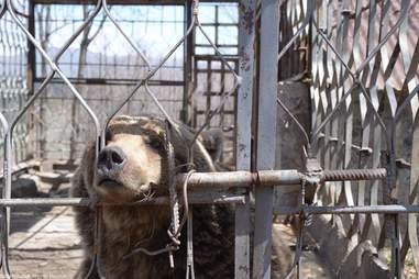 Brown bear locked inside metal cage
