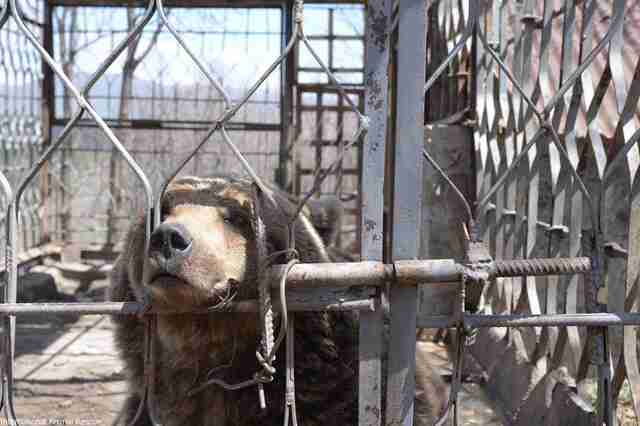Brown bear locked inside metal cage