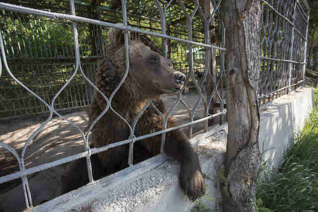 Brown bear peering through the bars of his cage