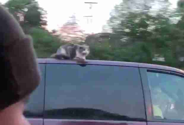 Watch This Fearless Cat Cling to a Van Driving 60mph Down the Freeway