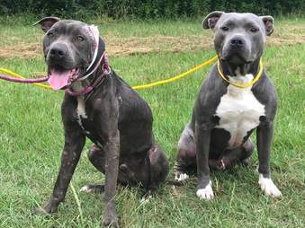 pit bull dogfighting rescue