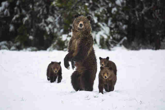 Family of grizzly bears in the snow