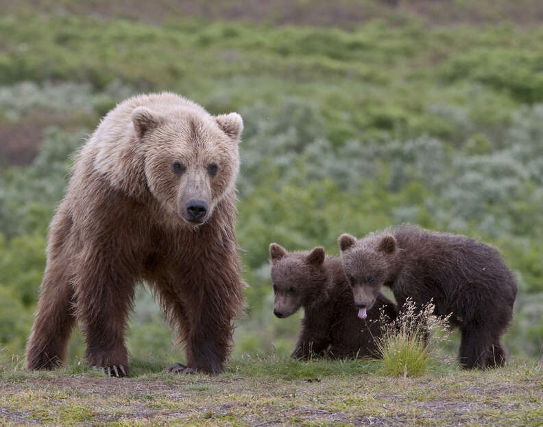 Family of brown bears in field together