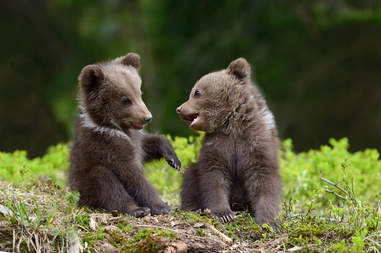 Baby brown bears playing together