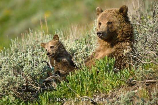 Grizzly bears sleeping in the grass