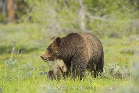 Mother grizzly bear protecting baby grizzly bear