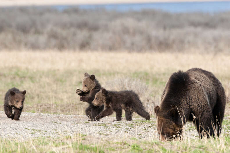 Grizzly bear family playing together