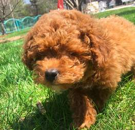 poodle puppy missing eyes