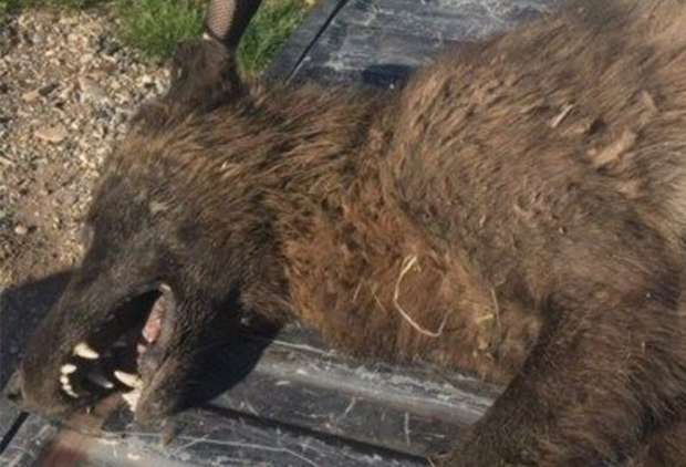 A Mysterious 'Wolf-Like' Creature Was Shot Dead And Experts Can't Identify It