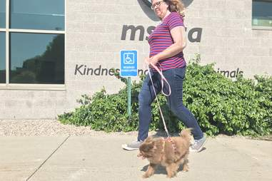 rescued Pomeranian goes for a walk