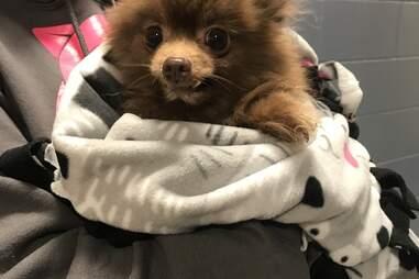 Jan the Pomeranian held by a shelter worker